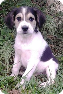 "Australian Shepherd/German Shepherd Dog Mix Puppy for adoption in Oswego, Illinois - I'M ADPTD  Treats ""Skittles"""