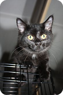 Domestic Shorthair Kitten for adoption in Whitby, Ontario - Katie and Scarlett