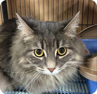 Domestic Mediumhair Cat for adoption in Edmonton, Alberta - LouLou