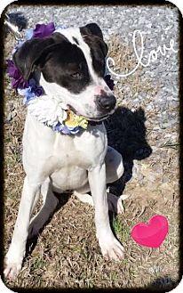 Labrador Retriever Mix Dog for adoption in Groton, Massachusetts - Sweet Pop