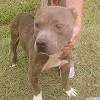 Staffordshire Bull Terrier Mix Dog for adoption in Media, Pennsylvania - SLADE