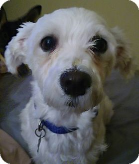 Maltese/Bichon Frise Mix Dog for adoption in Palm Harbor, Florida - Manny