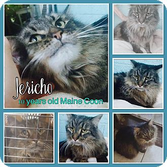 Maine Coon Cat for adoption in Phoenix, Arizona - Jericho
