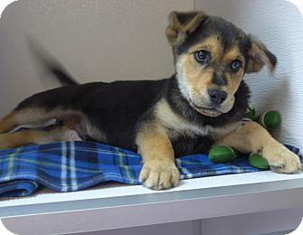 German Shepherd Dog Mix Puppy for adoption in Manning, South Carolina - Tesla