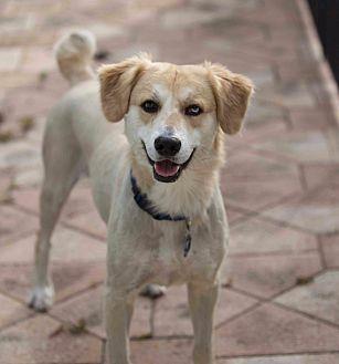 Labrador Retriever/Husky Mix Dog for adoption in Lithia, Florida - Marley
