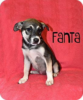 Shepherd (Unknown Type) Mix Puppy for adoption in Oxford, Connecticut - Fanta