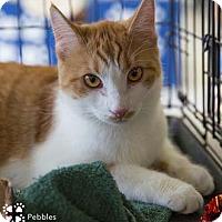 Adopt A Pet :: Pebbles - Merrifield, VA