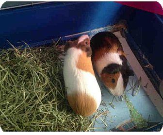 Guinea Pig for adoption in Fullerton, California - *Urgent* Hansel & Gretel