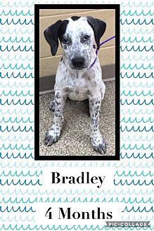 Blue Heeler/Bulldog Mix Puppy for adoption in Ft. Payne, Alabama - Bradley