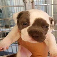 Adopt A Pet :: BOUNTY - Houston, TX
