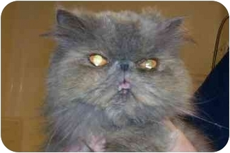 Persian Cat for adoption in Osceola, Arkansas - Mops
