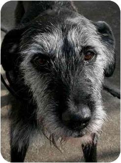 Terrier (Unknown Type, Medium)/Brussels Griffon Mix Dog for adoption in Phoenix, Oregon - Bridget