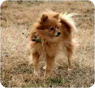Pomeranian Dog for adoption in Spring Valley, New York - Bella