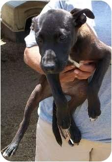 Labrador Retriever Mix Puppy for adoption in Menasha, Wisconsin - Jodie