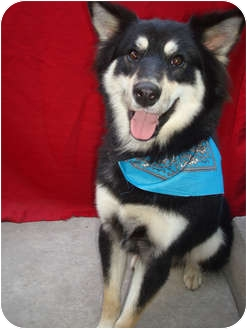 Husky/Australian Shepherd Mix Dog for adoption in El Cajon, California - LYCAN