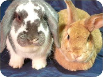 Lop-Eared Mix for adoption in Newport, Delaware - Emme and Redford