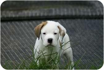 St. Bernard/Hound (Unknown Type) Mix Puppy for adoption in West Palm Beach, Florida - SAGE
