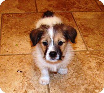 Australian Shepherd/Shepherd (Unknown Type) Mix Puppy for adoption in Muldrow, Oklahoma - Bruno