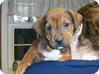 Boxer/Labrador Retriever Mix Puppy for adoption in Liberty Center, Ohio - Holyfield