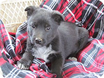 Australian Cattle Dog/Labrador Retriever Mix Puppy for adoption in Humboldt, Tennessee - BARKLEY