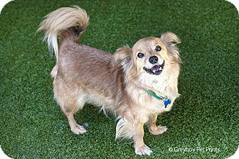 Corgi/Pomeranian Mix Dog for adoption in Mission Viejo, California - Arnold