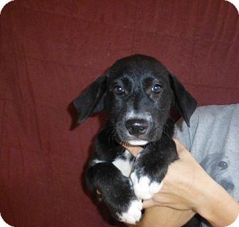 Border Collie/Labrador Retriever Mix Puppy for adoption in Oviedo, Florida - Star
