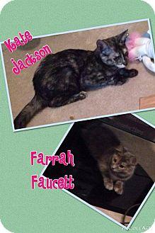 Domestic Shorthair Kitten for adoption in Newnan, Georgia - Kate Jackson