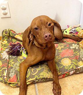 Vizsla Mix Puppy for adoption in North Bend, Washington - Penny
