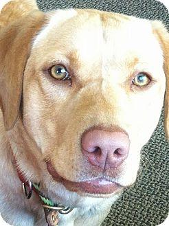 Labrador Retriever Dog for adoption in Farmington Hills, Michigan - Aubrey
