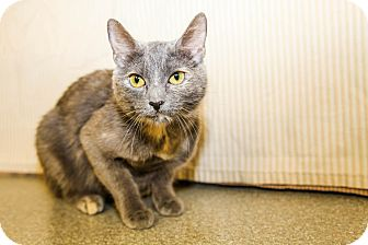 Domestic Shorthair Cat for adoption in Larned, Kansas - Precious