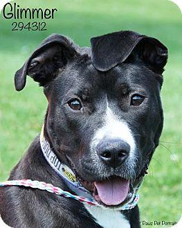 Border Collie/Terrier (Unknown Type, Medium) Mix Dog for adoption in Troy, Michigan - Glimmer