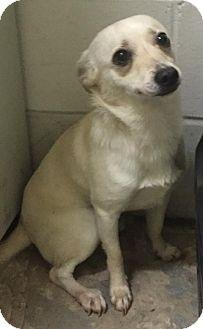 Chihuahua Mix Dog for adoption in Savannah, Georgia - Ice