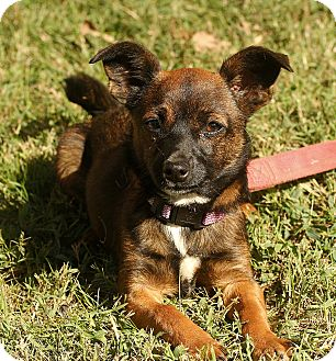 Pomeranian/Chihuahua Mix Dog for adoption in Beacon, New York - Molly
