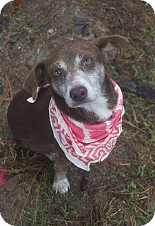 Dachshund/Feist Mix Dog for adoption in Bishopville, South Carolina - Rose