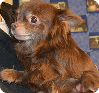 Chihuahua Dog for adoption in Prole, Iowa - Kachita