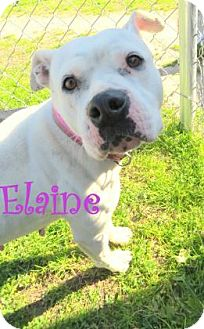 American Bulldog Mix Dog for adoption in Georgetown, South Carolina - Elaine