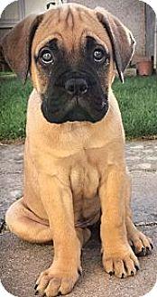 Bullmastiff Puppy for adoption in Sylacauga, Alabama - Ema