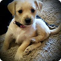 Adopt A Pet :: Lollie - Gig Harbor, WA