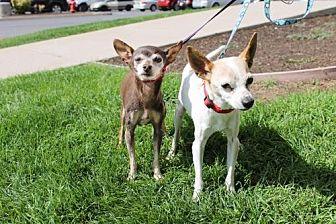 Chihuahua/Italian Greyhound Mix Dog for adoption in Logan, Utah - Isa