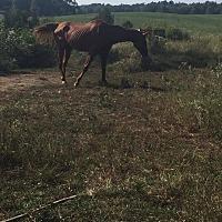 Quarterhorse Mix for adoption in Clarkson, Kentucky - Shady Grady