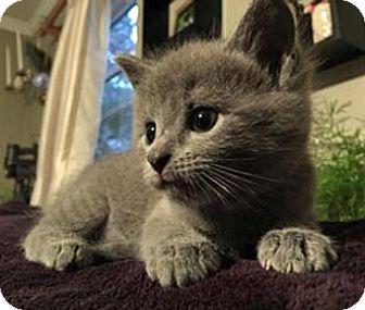 Domestic Shorthair Kitten for adoption in Merrifield, Virginia - Sunny