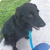Adopt A Pet :: Cookie - Allen, TX