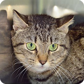 Domestic Shorthair Cat for adoption in Brooksville, Florida - 10310200