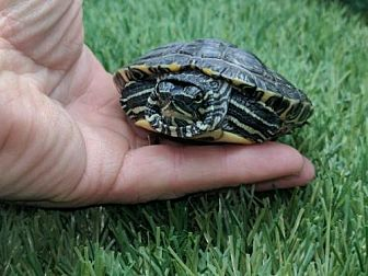 Turtle - Other for adoption in Pefferlaw, Ontario - Lucy