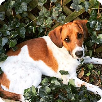 Australian Cattle Dog/Beagle Mix Dog for adoption in Richmond, Virginia - Kodi