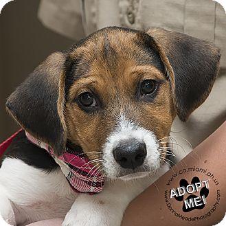 Beagle Mix Puppy for adoption in Troy, Ohio - Sammy(AKA-Humphrey)