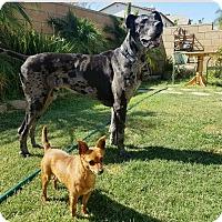 Adopt A Pet :: Koa - Fallbrook, CA