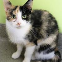 Domestic Shorthair/Domestic Shorthair Mix Cat for adoption in Lynchburg, Virginia - Omelette