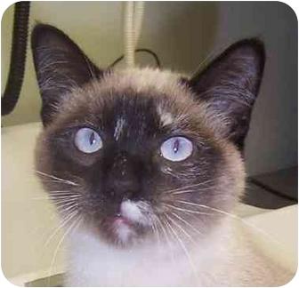 Siamese Kitten for adoption in Oklahoma City, Oklahoma - April
