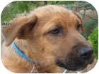 Shepherd (Unknown Type)/Rhodesian Ridgeback Mix Puppy for adoption in Poway, California - Mikey